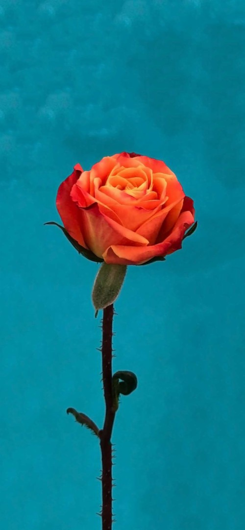 Ios 11 Orange Rose Wallpaper Rose Flower Wallpaper Iphone 10503 Hd Wallpaper Backgrounds Download