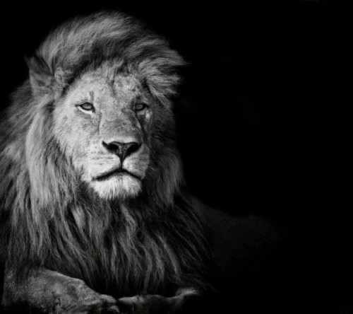 List Of Free Lion Wallpapers Download Itl Cat
