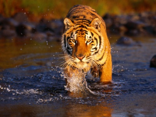 Tiger Wallpapers Background Tiger Images Hd 105115 Hd