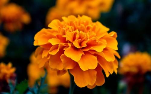 Respect For The Elderly Flower Marigold Hd Wallpaper
