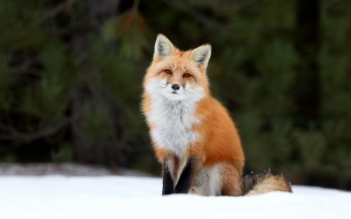 Red Fox Fox Wallpaper 4k 114797 Hd Wallpaper