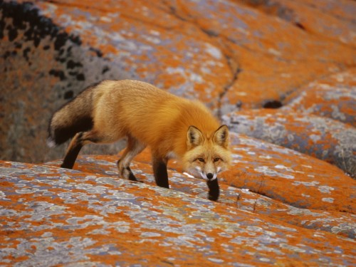 Red Fox Wallpaper Red Fox In Desert 115304 Hd