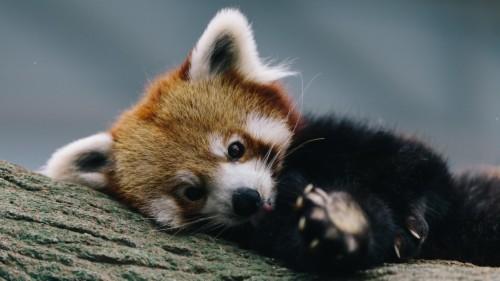 Sad Baby Red Panda Wallpaper Red Panda 121479 Hd