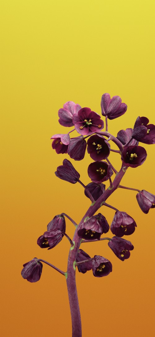 Ios 11 Flower Fritillaria Yellow 4k Wallpaper Iphone 1202145 Hd Wallpaper Backgrounds Download