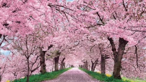 Wallpaper Engine Cherry Blossom Desktop 567059 Hd Wallpaper Backgrounds Download