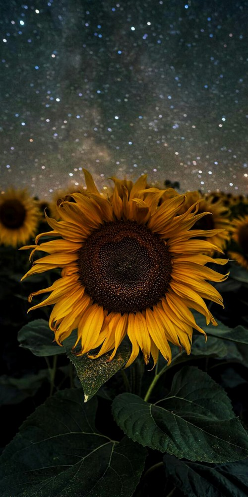 List Of Free Sunflower Wallpapers Download Itl Cat