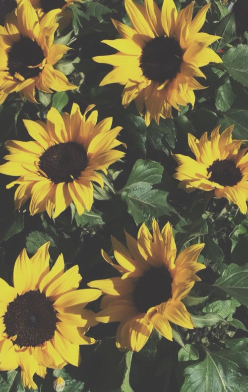 Sunflower Aesthetic 238790 Hd Wallpaper Backgrounds Download