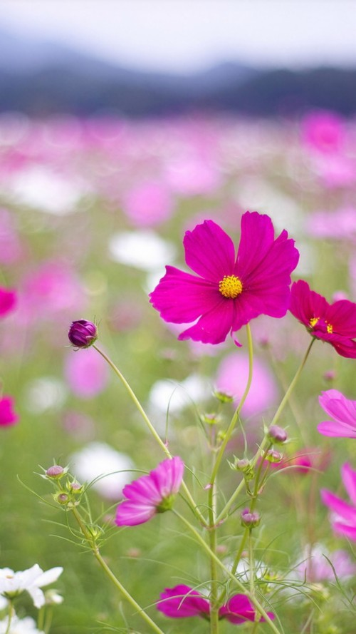 Beautiful Flowers Mobile Wallpapers For Samsung Galaxy Flower Hd Wallpaper For Android 145730 Hd Wallpaper Backgrounds Download