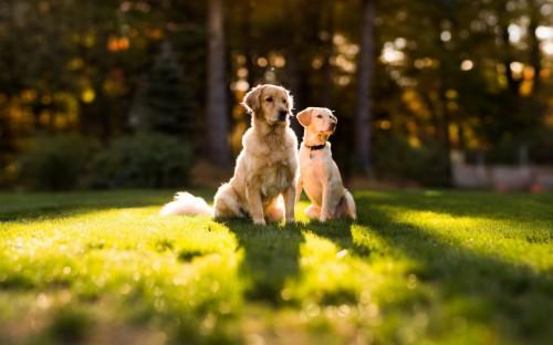 Dog Wallpapers Animal Background Images Download Golden