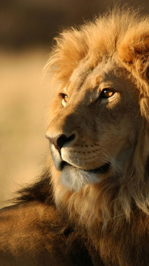 Lion Animal Wallpapers Iphone Lion Wallpaper Hd 1755118 Hd Wallpaper Backgrounds Download