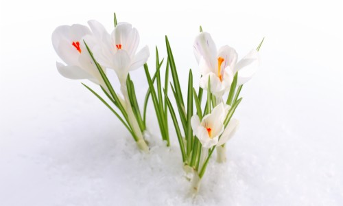 Snow Snowdrops Spring Flowers Early Spring Wallpapers с