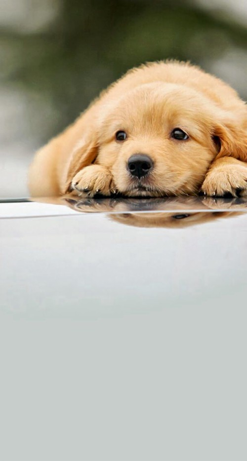 Cute Puppies Wallpapers For Mobile Iphone 6 Golden