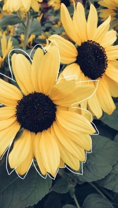 Sunflower Black Background With Flower - Fondo De Pantalla ...