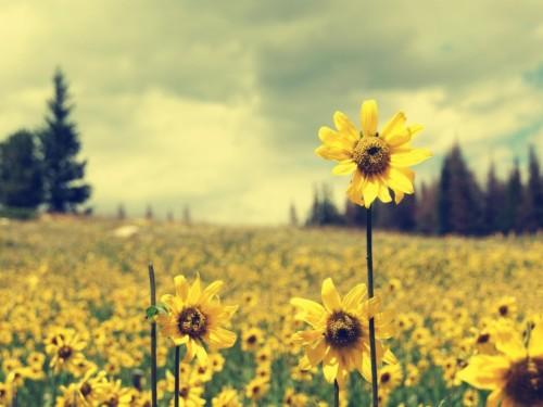 Sunflower Hd Wallpapers 1080p Sunflower Field Background 1885724 Hd Wallpaper Backgrounds Download