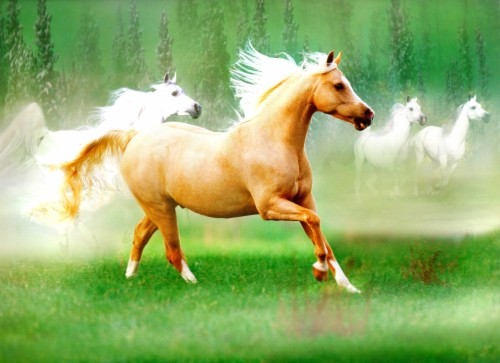 Beautiful Arabian Horse Wallpaper Rocky Mountain Horse Silver