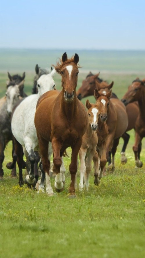 Cow N Country Girl Horse Herd Iphone 5 Wallpapers 7 Horse