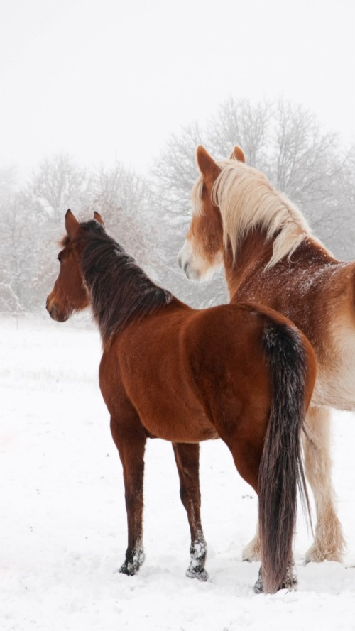 Wallpaper Horse Winter Snow Couple Horse Wallpapers Hd Iphone