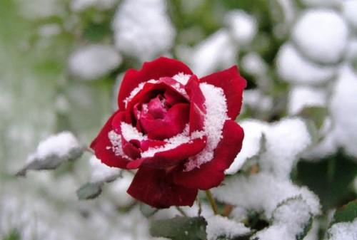 Daffodil Snow Flowers Spring Garden Flower Desktop Red