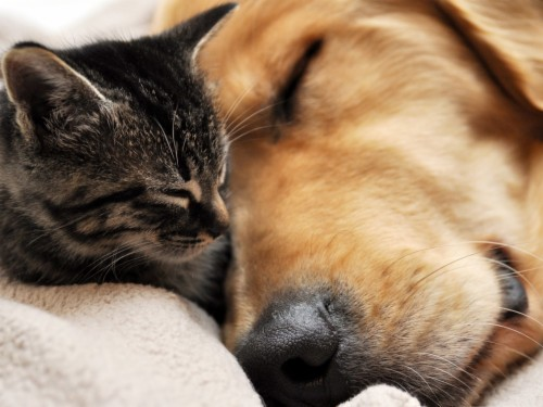 Cute Puppy And Kitten Wallpapers Golden Retriever And