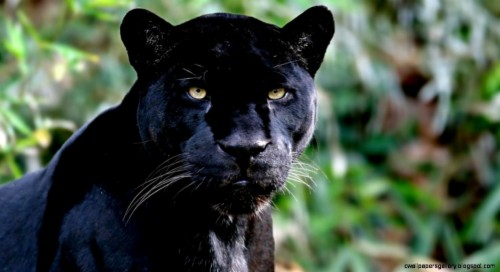 Jaguar Animal Wallpaper Mammal Amazon Rainforest Animals