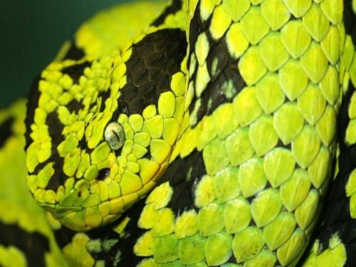 Viper Snake Wallpaper Hd Images Free Download 640ã Pit