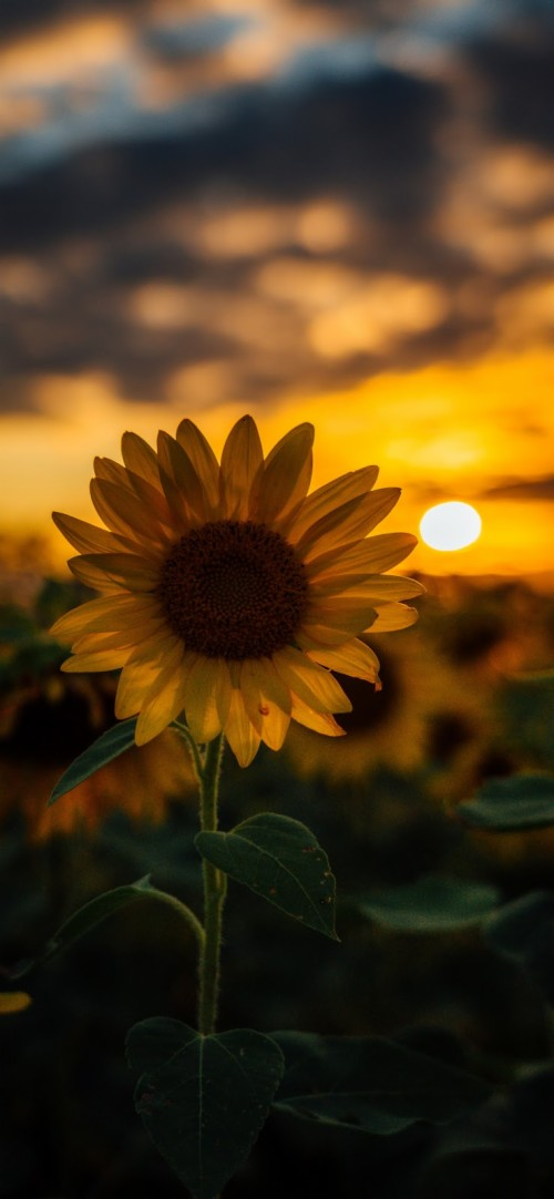 List of Free Sunflower Iphone Wallpapers Download , Itl.cat