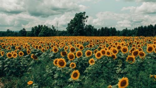 Wallpaper Sunflowers Field Flowers Bloom Summer 2048