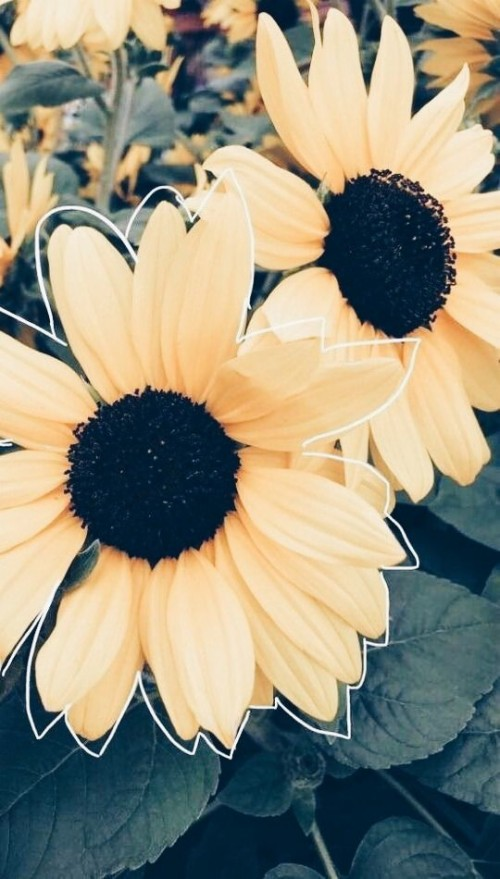 Pin Od Maria Na Flowers Or Work Of Art Pinterest Aesthetic Sunflower Wallpaper Iphone 238892 Hd Wallpaper Backgrounds Download