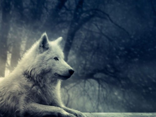Wolf Wallpapers Phone For Desktop Wallpaper White Wolf