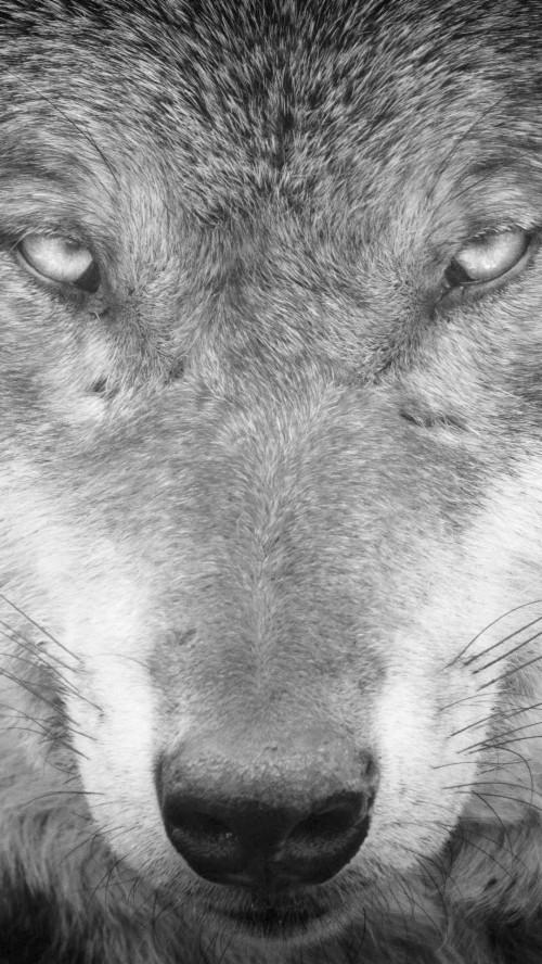 Wolf Background Black Wallpaper Iphone Dark Minimalist Wolf Phone Wallpaper 4k 369801 Hd Wallpaper Backgrounds Download