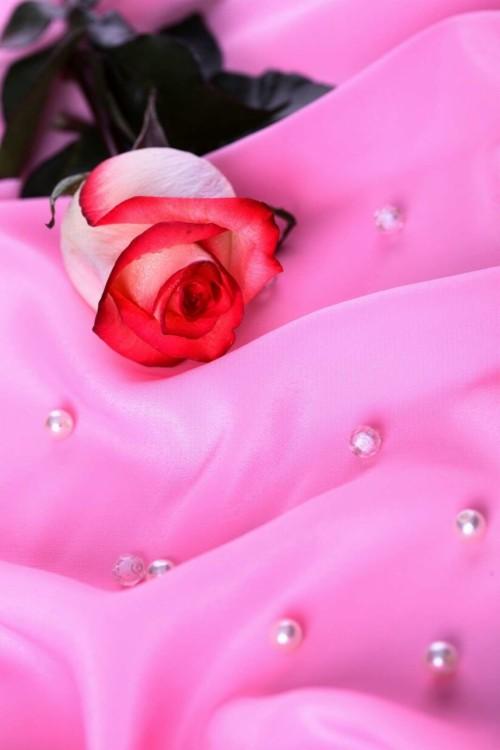 Gambar Bunga Mawar Yang Cantik Cantik Flowers Hd 46400