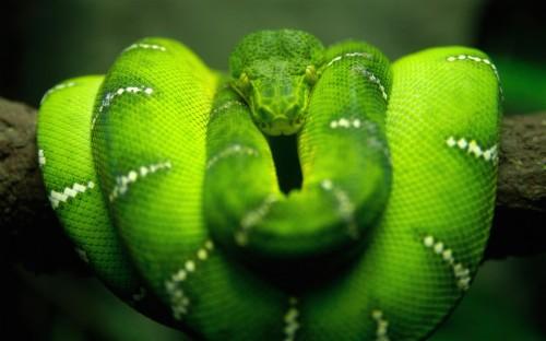Green Snake Hd Wallpaper Tree Snake Green 456228 Hd