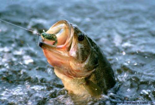 Bass Fish Wallpaper Hd Largemouth Bass Jumping Out 459349 Hd Wallpaper Backgrounds Download