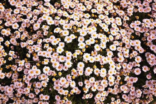 Cute Tumblr Wallpaper , Aesthetic Daisy Flower Hd (57081
