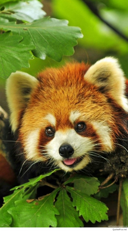 List Of Free Panda Wallpapers Download Page 4 Itl Cat