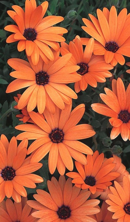 6 69639 color of the day orange flower wallpaper iphone