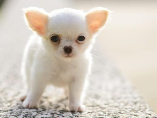 Se Ba Hunde Welpen Gallery Welpen Malvorlagen Chihuahua Dog