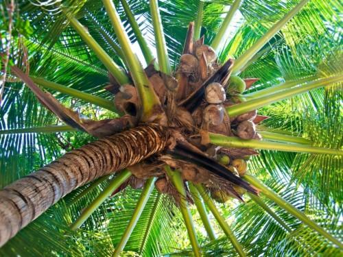 Menyewakan Pohon Kelapa Untuk Diambil Niranya Palmera Con