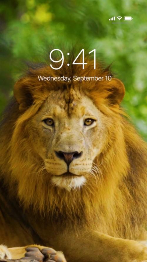 80 800731 incredible live wallpapers masai lion