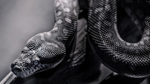 4k Snakes Wallpaper Free Snake Wallpaper Hd 97996 Hd